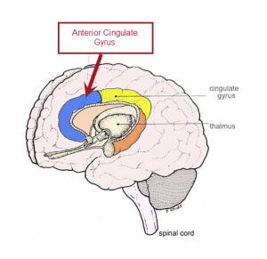 anterior cingulate gyrus