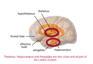 thalamus amygdala and hippocampus