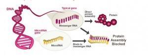 MicroRNA blocks Messenger RNA